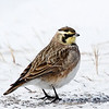Alouette hausse-col.  Commun, printemps et automne.  Peu commun, été et hiver.  Nicheur  _  Horned Lark.   Common, spring and fall.  Uncommon, summer and winter.  Breeds.
