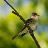 Moucherolle des saules.  Rare, printemps-automne. Nicheur  _  Willow Flycatcher.  Rare, spring-fall. Breeds.