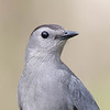 Moqueur chat.  Commun, printemps-automne; très rare l'hiver. Nicheur  _  Gray Catbird.  Common, spring-fall; very rare in winter. Breeds.