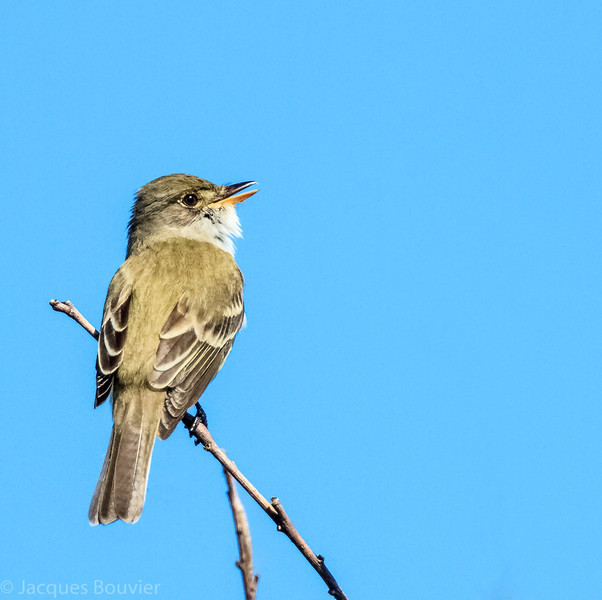 Moucherolle des saules.  Rare, printemps-automne. Nicheur  _  Willow Flycatcher.  Rare, spring-fall. Breeds.