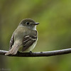 Moucherolle tchébec.  Commun, printemps-automne.  Nicheur  _  Least Flycatcher.  Common, spring-fall.  Breeds.