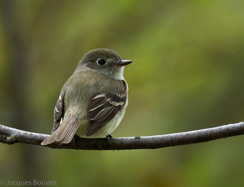 Moucherolle tchébec.  Commun, printemps-automne.  Nicheur  _   Least Flycatcher.  Common, spring-fall.  Breeds.