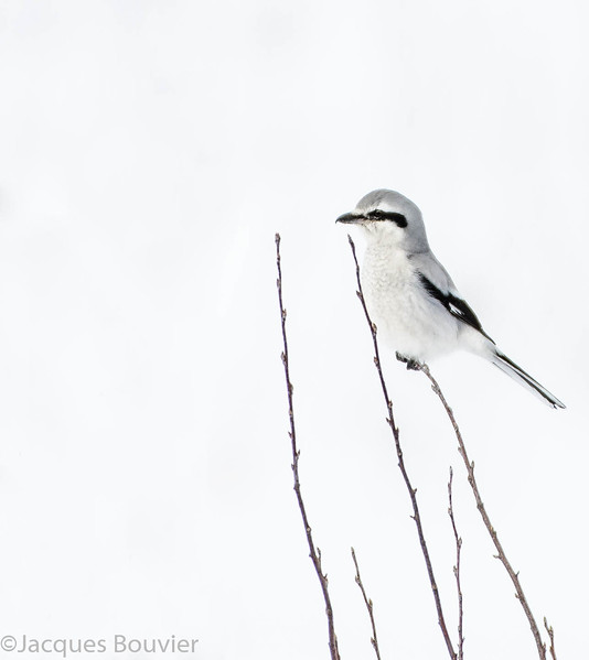 Pie-grièche grise. Peu commun, automne-printemps  _  Northern Shrike.  Uncommon, fall-spring.