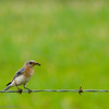 Merlebleu de l'Est.  Peu commun du printemps à l'automne; très rare l'hiver.  Nicheur  _  Eastern Bluebird.  Uncommon from spring to fall; very rare in winter.  Breeds.
