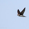 Hirondelle de rivage.  Commun, printemps-automne.  Nicheur  _  Bank Swallow.  Common, spring-fall.  Breeds.