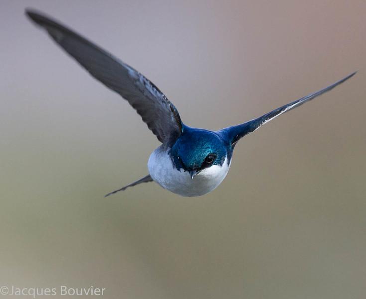 Hirondelle bicolore.   Commun, printemps-automne. Nicheur  _  Tree Swallow.  Common, spring-fall. Breeds.