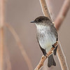 Moucherolle phébi.  Commun, printemps-automne.  Très rare l'hiver.  Nicheur  _  Eastern Phoebe.  Common, spring-fall.  Very rare in winter.  Breeds.