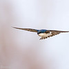 Hirondelle bicolore.   Commun, printemps-automne. Nicheur  _  Tree Swallow.  Common, spring-fall. Breeds.