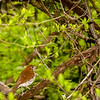 Grive des bois.  Commun, printemps-automne.  Nicheur  _  Wood Thrush.  Common, spring-fall.  Breeds.