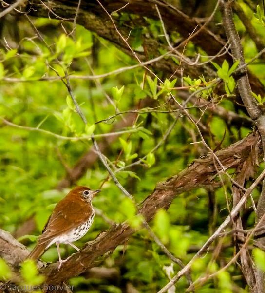 Grive des bois.  Commun, printemps-automne.  Nicheur  _  Wood Thrush.  Common, spring-fall.  Breeds.