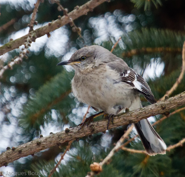 Moqueur polyglotte.  Rare, printemps-automne.  Très rare l'hiver.  Nicheur  _  Northern Mockingbird. Rare, spring-fall.  Very rare in winter.  Breeds.