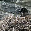 Grand Corbeau. Commun, toute l'année.  Nicheur _  Common Raven.  Common, all year.  Breeds.