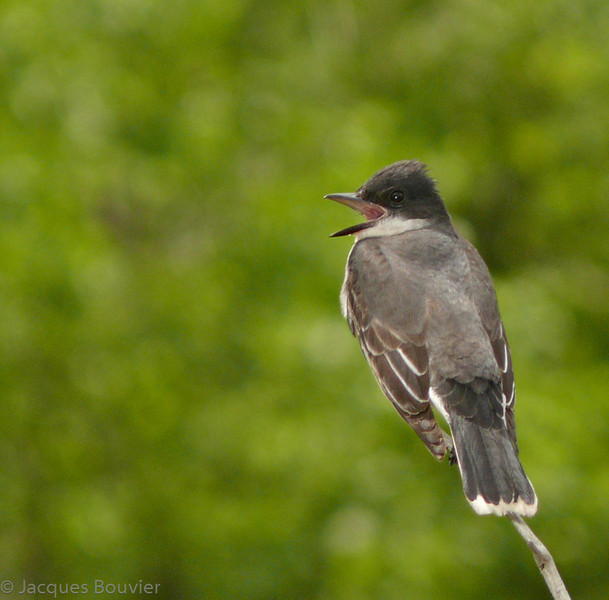 Tyran tritri.  Commun, printemps-automne.  Nicheur  _    Eastern Kingbird.  Common, spring-fall.  Breeds.