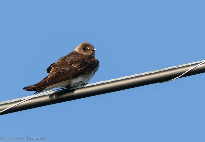 Hirondelle à ailes hérissées.  Peu commun du printemps à l'automne.  Nicheur  _  Northern Rough-winged Swallow.  Uncommon from spring to fall.  Breeds.
