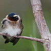 Hirondelle à front blanc.  Commun, printemps-automne. Nicheur  _  Cliff Swallow.    Common, spring-fall. Breeds.