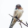 Hirondelle rustique.  Commun, printemps-automne. Nicheur  _  Barn Swallow.  Common, spring-fall. Breeds.
