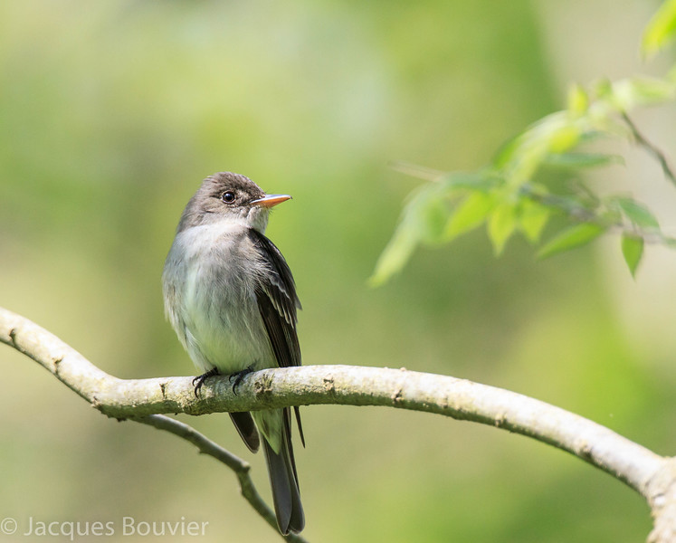 Pioui de l'Est.  Commun, printemps-automne. Nicheur   _   Eastern Wood-Pewee.  Common from spring to fall. Breeds.