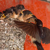 Hirondelle rustique.  Commun, printemps-automne. Nicheur  _  Barn Swallow.  Common, spring-fall. Breeds.