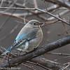Merlebleu azuré - Mountain Bluebird.