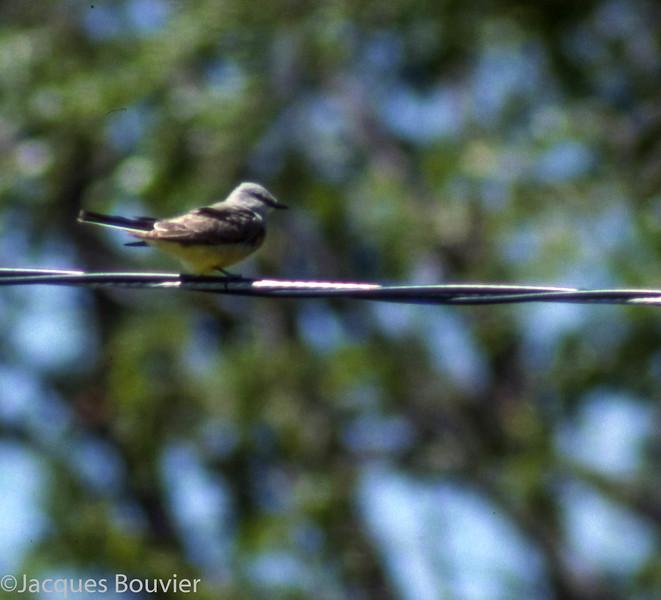 Tyran de l'Ouest.  Extêmement rare, l'automne  _  Western Kingbird.  Extremely rare, fall.