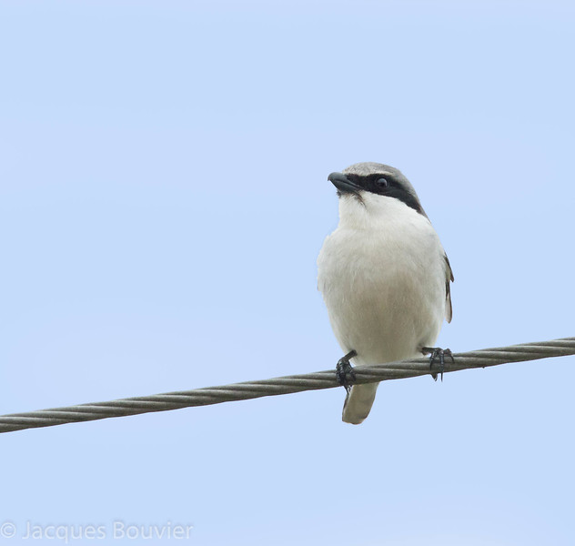 Pie-grièche migratrice.  Très rare,  printemps-automne.  Nicheur  _  Loggerhead Shrike.  Very rare, spring-fall.  Breeds.