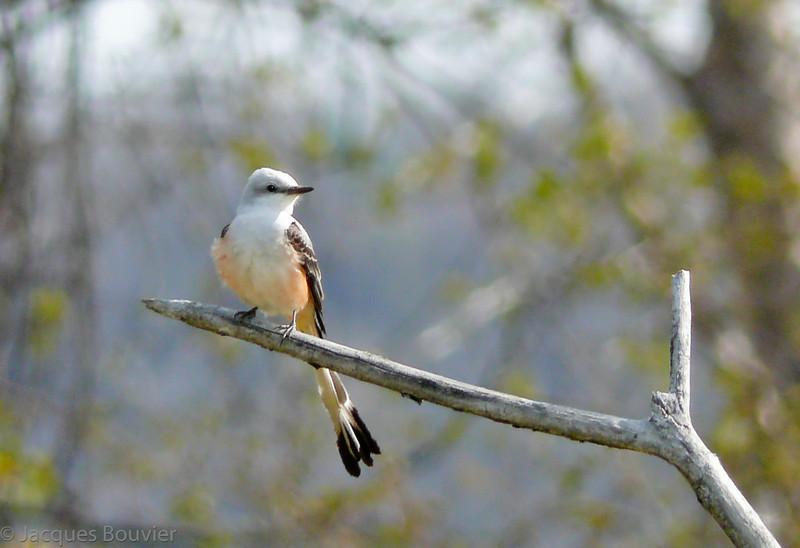 Tyran à longue queue.  Extrêmement rare le printemps  _  Scissor-tailed Flycatcher.  Extremely rare in spring.