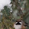 Mésange à tête brune dans le Parc Gatineau près du Lac Ramsay le 11décembre 2012.<br />  <br /> Très rare, automne au printemps. <br /> <br /> Depuis 1971, elle a été observée seulement deux fois sur le RON annuel de Massena-Cornwall et le nombre record d'individus était deux en 2008. Depuis 1977, le RON de Vankleek Hill en a signalé à 3 reprises soit un individu le 21 décembre 1980, 3 le 20 décembre 1981, et finalement 3 autres le 18 décembre 2005. <br />  <br /> A Boreal Chickadee near Ramsay Lake in Gatineau Parc on 11 December 2012.<br />  <br /> Very rare, fall to spring.<br /> <br /> It was recorded only two times on the Cornwall-Massena CBC since 1971, and the two birds recorded in 2008 was a record high count.  Since 1977, it appeared three times on a Vankleek Hill CBC: there was one bird on 21 December 1980, three on 20 December 1981 and another 3 on 18 December 2005.
