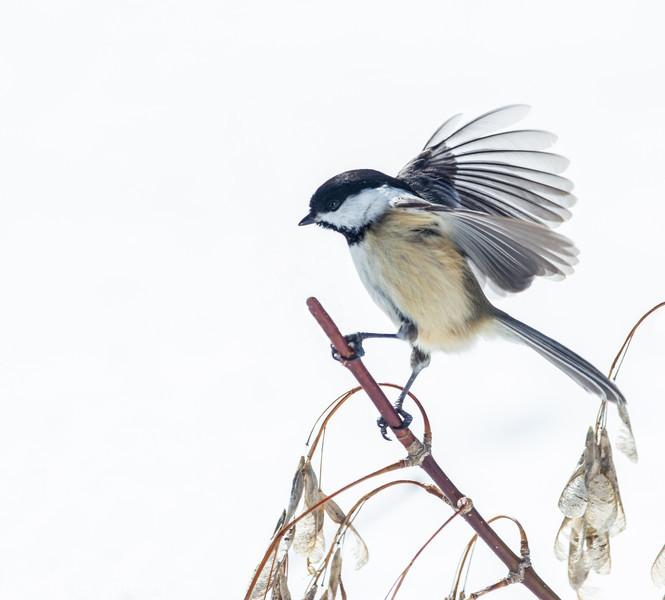 Mésange à tête noire sur un rameau d'un Érable composé (É à Giguère) à St-Isidore le 21 février 2013.<br /> <br /> Commun toute l'année.  Nicheur.<br />  <br />  <br /> Black-capped Chickadee  on a Manitoba Maple twig in St-Isidore on 21 February 2013.  <br /> <br /> Common all year.  Breeds.