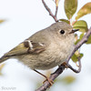 Roitelet à couronne rubis.  Commun, printemps, automne. Rare l'été. Nicheur possible _ Ruby-crowned Kinglet. Uncommon, spring, fall. Rare in summer.  Possibly breeds.