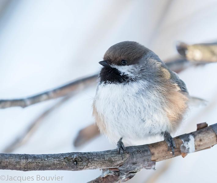 Mésange à tête brune. Très rare automne-printemps_ Boreal Chickadee.  Very rare fall-spring.