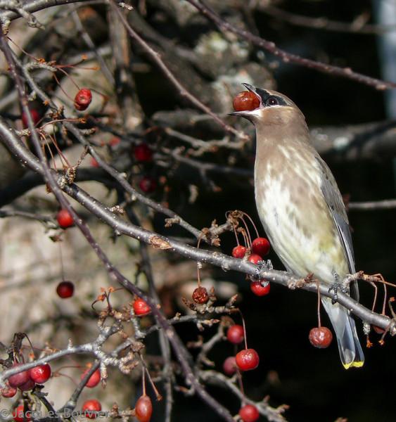 Jaseur d'Amérique 1er automne à Grenville le 13 novembre 2009. <br /> <br /> Commun, printemps-automne.  Variable l'hiver.  Nicheur. <br /> <br /> Cette espèce est très répandue le long du sentier récréatif de Prescott et Russell, et donc très facile à trouver. En juillet 2007, j'en ai compté 63 le long de 38 des 72 km du sentier.<br /> <br />  <br /> A 1st fall Cedar Waxwing in Grenville QC on 13 November 2009.  <br /> <br /> Common, spring-fall.  Variable in winter.  Breeds.<br /> <br /> This species is very widespread and consequently is very easy to find along the Prescott and Russell recreational trail. During July 2007, I counted 63 individuals along 38 km of the 72 km long trail.