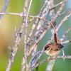 Troglodyte des marais au marais du chemin Richmond à Cornwall le 31 juillet 2013.<br /> <br /> Peu commun du printemps à l'automne.  Nicheur.<br /> <br /> Marsh Wren at the Richmond Drive wetland on 31 July 2013.<br /> <br /> Uncommon from spring to fall.  Breeds.