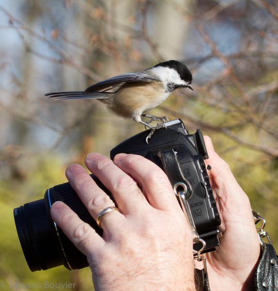 Mésange à tête noire perchée sur un appareil photographique D3100 Nikon à l'Île Amherst le 5 novembre 2011.  <br /> <br /> Commun toute l'année. Nicheur.<br /> <br /> <br /> Black-capped Chickadee sitting on a D3100 Nikon SLR digital camera with a AF-S DX nikkor 18-55 mm f/3.5-5.6 VR lens on Amherst Island on 5 November 2011.<br /> <br /> Common all year. Breeds.