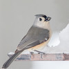 Mésange bicolore. Très rare, automne-printemps_Tufted Titmouse.  Very rare, fall-spring.