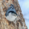 Sittelle à poitrine blanche mâle à Ottawa le 8 mars 2013. <br /> <br /> Commun, toute l'année.  Nicheur.<br />  <br /> A male White-breasted Nuthatch in Ottawa on 8 March 2013.<br /> <br /> Common, all year.  Breeds.