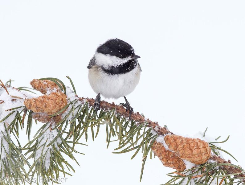 Mésange à tête noire.  Commun toute l'année.  Nicheur  _ Black-capped Chickadee.  Common all year.  Breeds.
