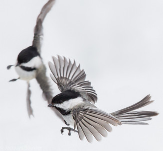 Songbirds 2 (Chickadees etc.. to waxwings and wrens) - Les oiseaux chanteurs 2 (Gobe-moucheron etc. à troglodytes)