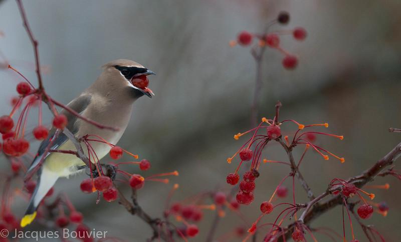 Jaseur d'Amérique.  Commun, printemps-automne.  Variable l'hiver.  Nicheur _  Cedar Waxwing.  Common, spring-fall.  Variable in winter.  Breeds.