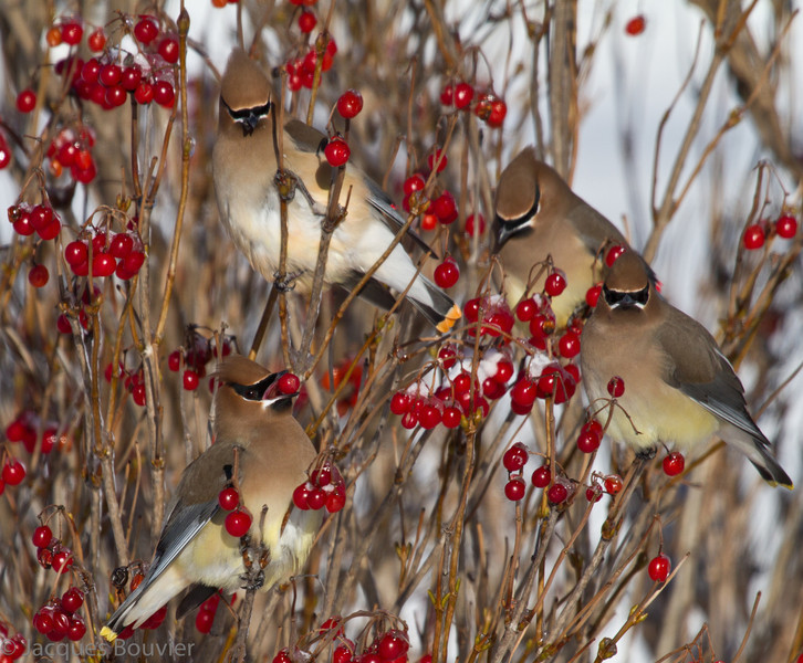 Jaseur d'Amérique mangeant des fruits du Viorne trilobé à Summerstown Station le 15 janvier 2012.  Celui du bas à gauche est probablement un mâle avec son menton ayant beaucoup de noir foncé.  Les autres sont des femelles avec chacune leur petite tache sous le menton qui est mat et brun-noir .<br /> <br /> Commun, printemps-automne. Variable l'hiver. Nicheur.<br /> <br /> <br /> Cedar Waxwing feeding on fruits of Highbush Cranberry in Summerstown Station on 15 January 2012.  Bottom left bird is most likely a male with large, black chin patch.  Others are females with dull, small brownish black chin patches. <br /> <br /> Common, spring-fall. Variable in winter. Breeds.
