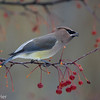 Jaseur d'Amérique.  Commun, printemps-automne.  Variable l'hiver.  Nicheur _  Cedar Waxwing.  Common, spring-fall.  Variable in winter.  Breeds.