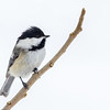 Mésange à tête noire sur une branche de Sumach vinaigrier à St-Isidore le 22 février 2013.<br />  <br /> Commun toute l'année.  Nicheur.<br /> <br /> Black-capped Chickadee on a Staghorn Sumac twig in St-Isidore on 22 February 2013. <br /> <br /> Common all year.  Breeds.