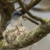 Gobemoucheron gris-bleu.  Très rare, printemps-automne.  Nicheur  _  Blue-gray Gnatcatcher.  Very rare, spring-fall.  Breeds.