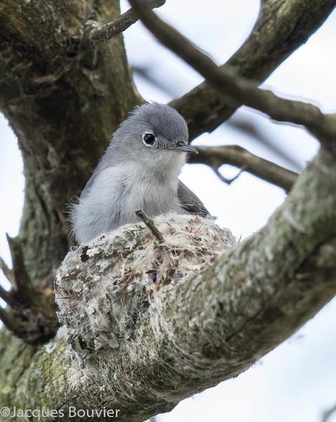 Gobemoucheron gris-bleu.  Très rare, printemps-automne.  Nicheur  _  Blue-gray Gnatcatcher.  Very rare, spring-fall.  Breeds.