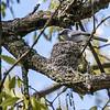 Gobemoucheron gris-bleu au nid à Pointe-Pelée le 10 mai 2010. J'ai observé deux adultes qui nourissaient un jeune hors du nid le 2 juillet 2001 sur le sentier Coureur des bois dans le parc provincial Voyageur près de Chute-à-Blondeau.<br /> <br /> Très rare, printemps-automne.  Nicheur.<br /> <br /> A Blue-gray Gnatcatcher at its nest at Point Pelee on 10 May 2010. I observed two adults feeding a fledged young along the Coureur des bois trail in Voyageur provincial park near Chute-à-Blondeau on 2 July 2001. <br /> <br /> Very rare, spring-fall.  Breeds.