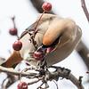 Jaseur boréal.  Variable, automne au printemps _ Bohemian Waxwing.  Variable, fall to spring.