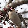 Jaseur boréal.  Variable, automne au printemps _ Bohemian Waxwing.  Variable, fall to spring.