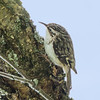 Grimpereau brun.  Peu commun, toute l'année.  Nicheur _   Brown Creeper.  Uncommon, all year.  Breeds.