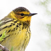 Paruline tigrée mâle à Magee Marsh le 14 mai 2015.<br /> <br /> <br /> A male CAPE MAY WARBLER at Magee Marsh on 14 May 2015.