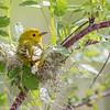 Paruline jaune.  Commun, printemps-automne. Nicheur _ Yellow Warbler.  Common, spring-fall. Breeds.