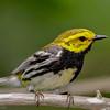 Paruline à gorge noire.  Commun, printemps-automne. Nicheur _  Black-throated Green Warbler.  Common, spring-fall. Breeds.